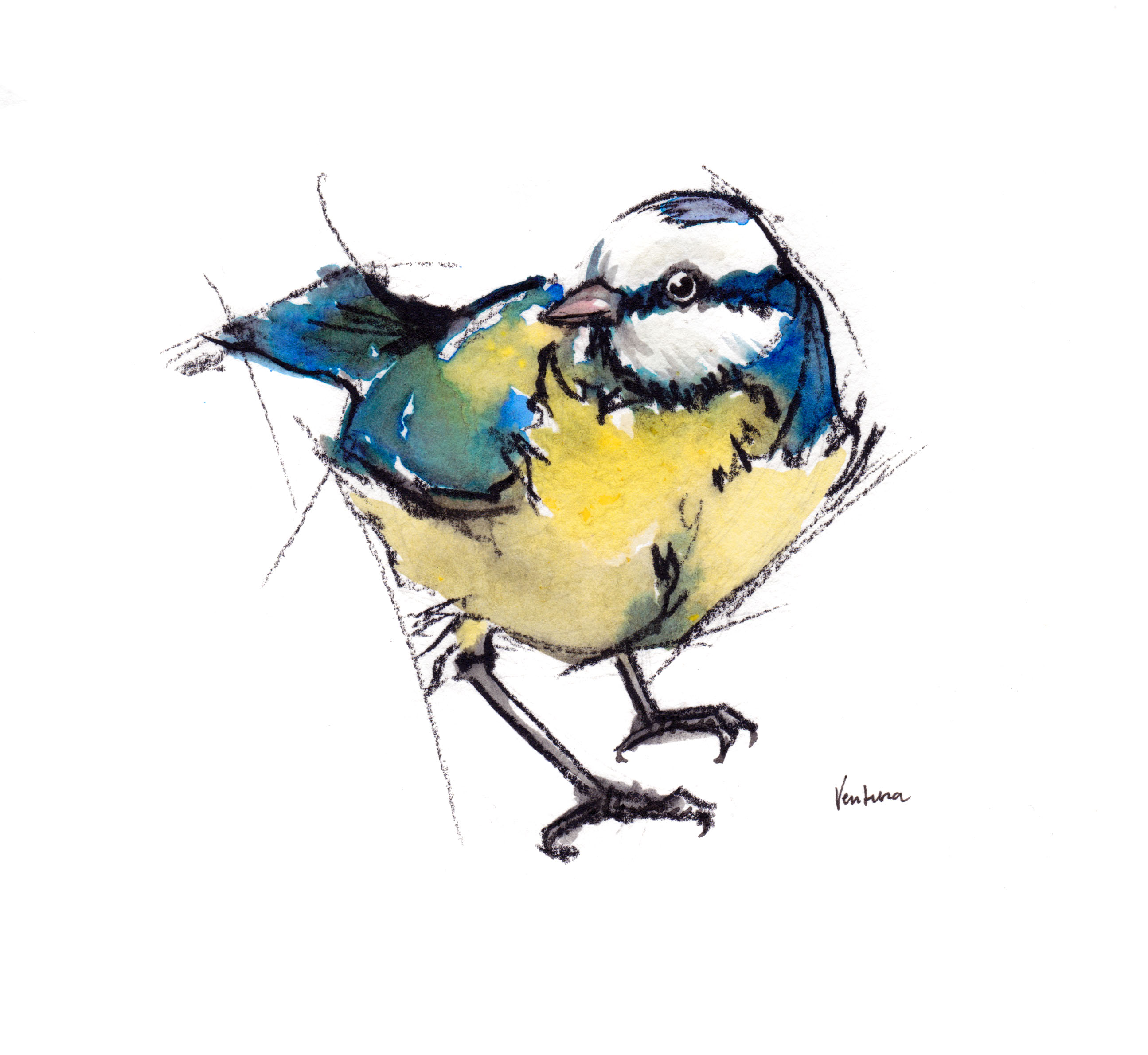 blue tit, bird, illustration, original, print, cards, charcoal,