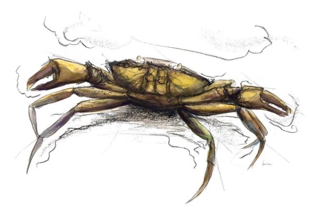 Crab, ink, drawing, salcombe,