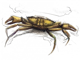 Crab, ink, drawing, salcombe,