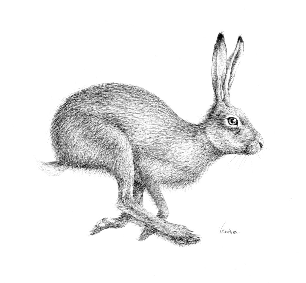 hare, running, wildlife, ink, drawing,